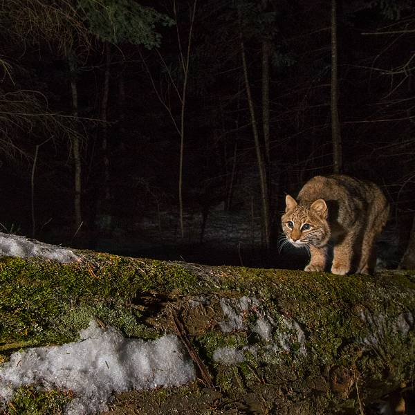 Teaser image for Wildlife Tracking through Remote Camera Photography